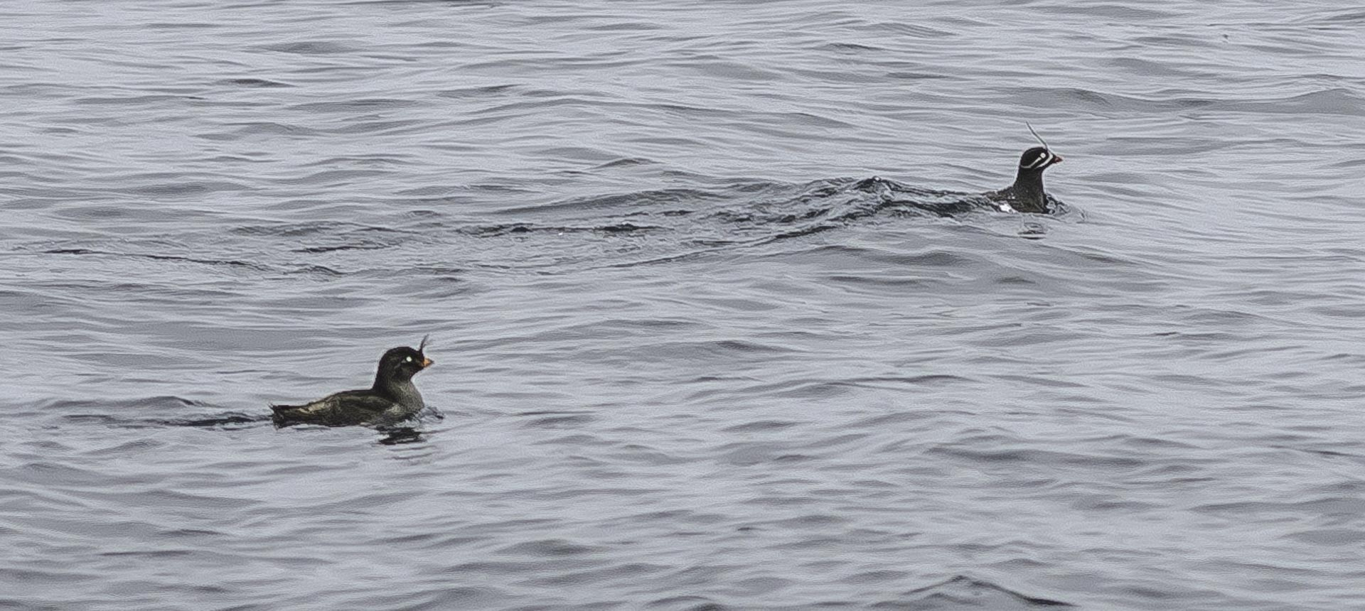 Crested auklet and whiskered auklet