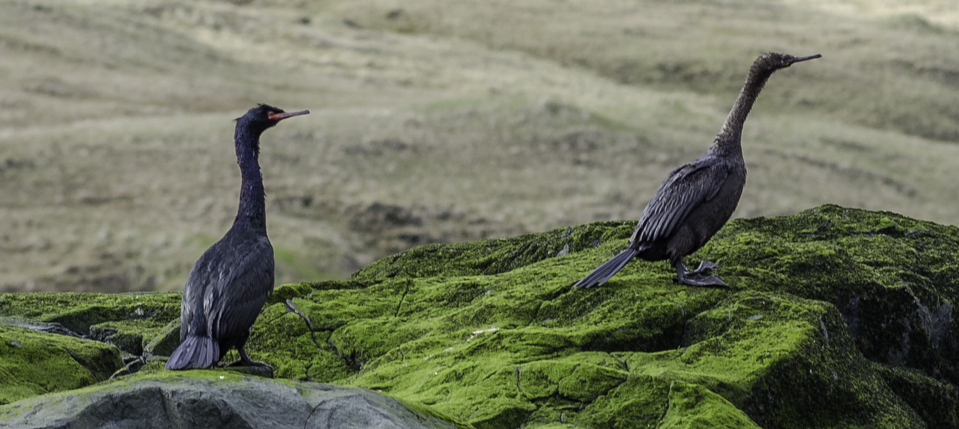 Red-faced cormorants
