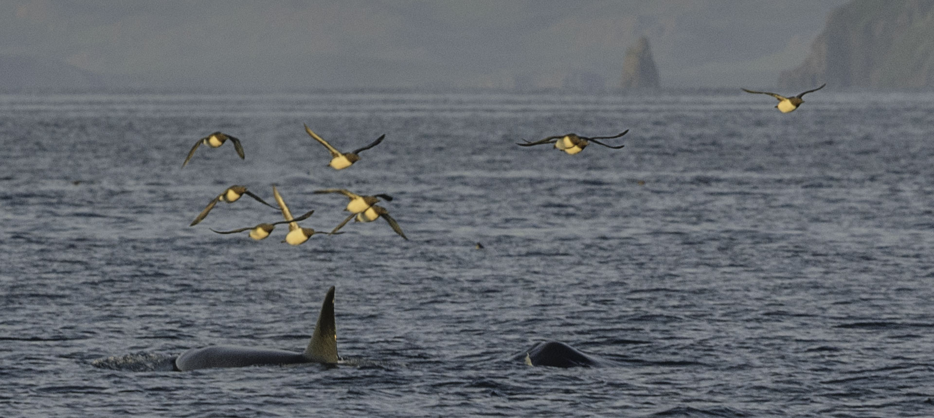 Common murres and orca / killer whales