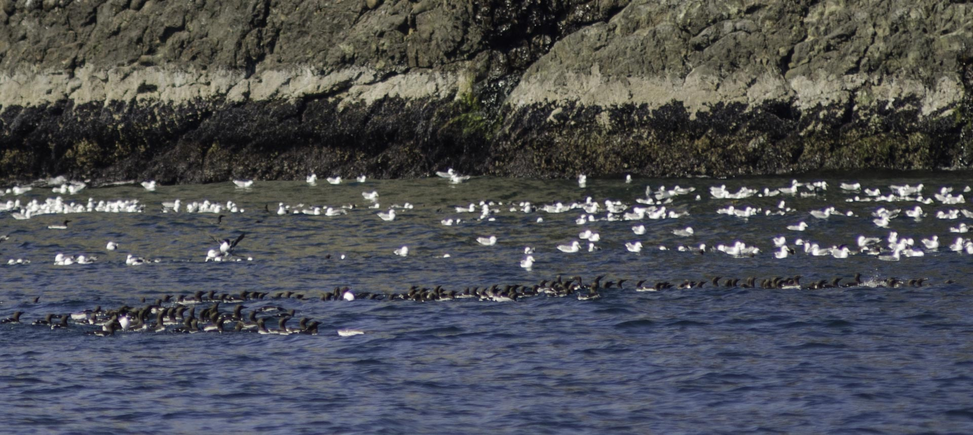 Common murres and kittiwakes