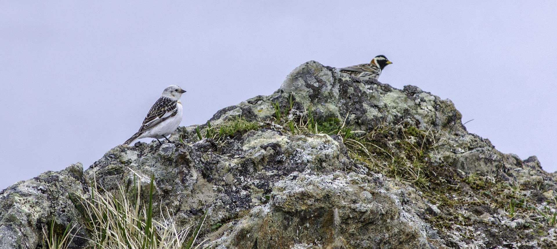 Snow bunting and lapland longspur