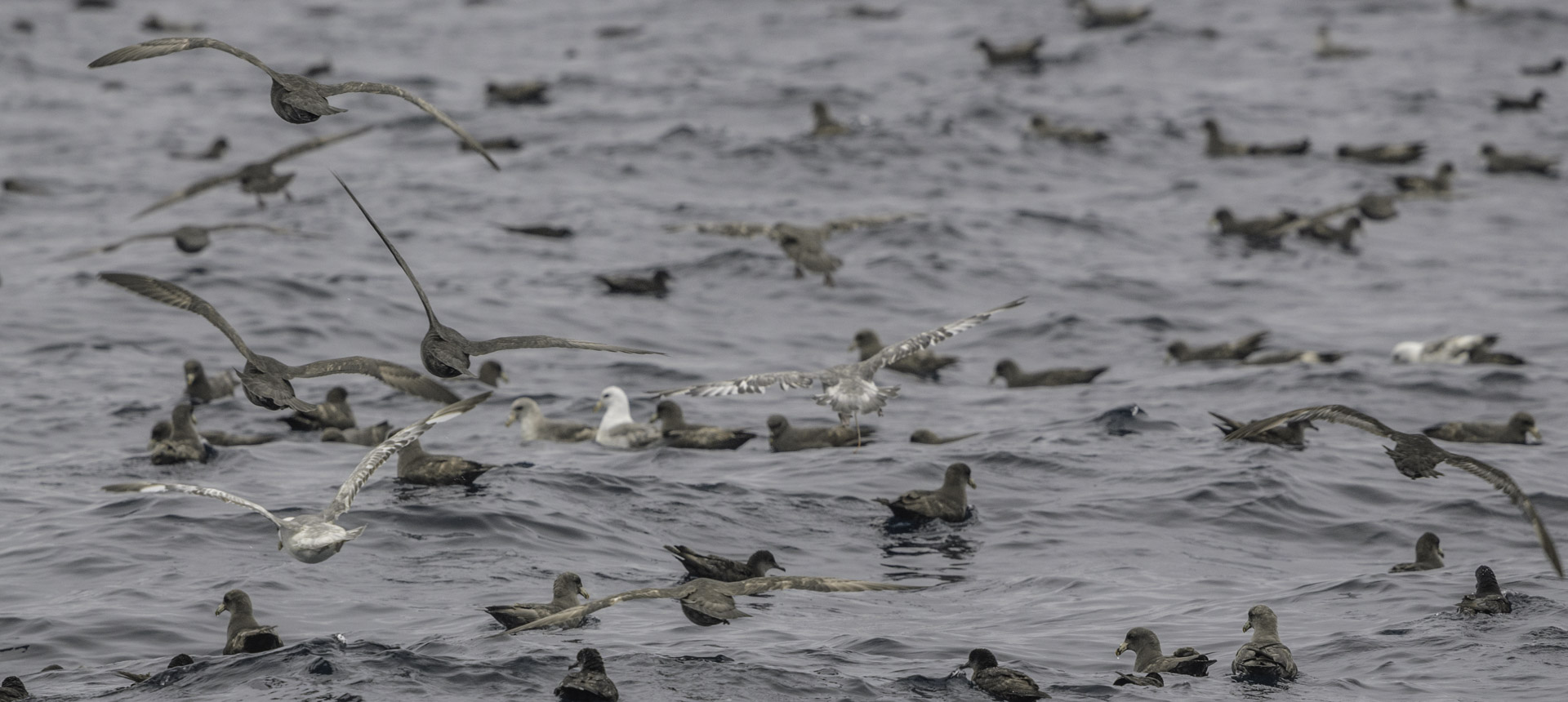 Northern fulmars and sooty shearwaters